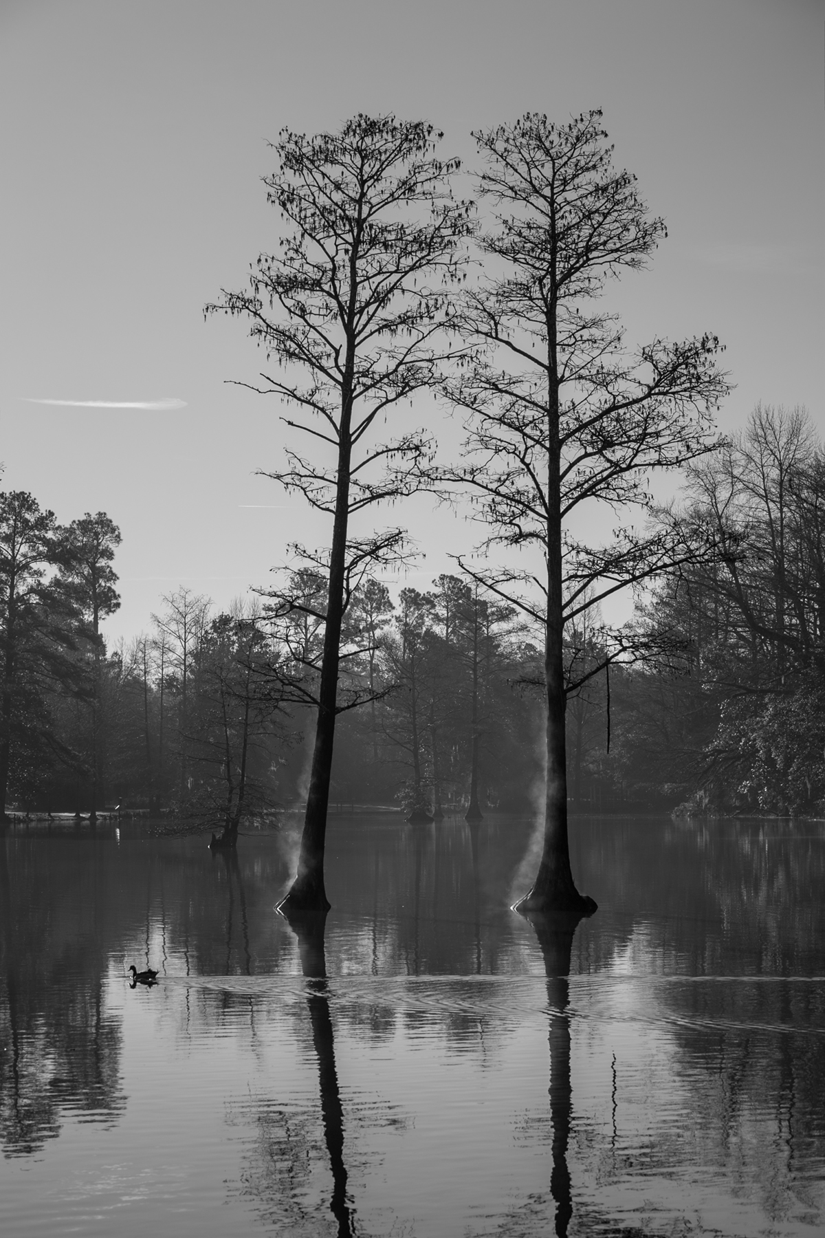 Two cypress trees growing out of a lake just to the center of the image; more trees around the lake are seen in the background.
